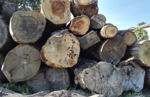 oak logs at the wood yard