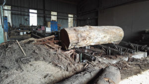 Oak tree trunk ready for planking