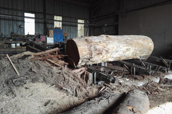Oak tree trunk ready for planking